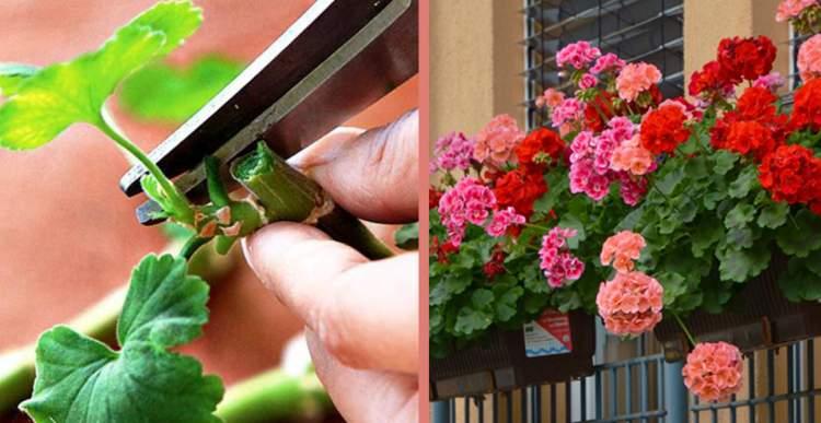 Як правильно обрізати герань, щоб вона шикарно цвіла … Ця рослина є такою популярною через свою красу і невибагливість у догляді.