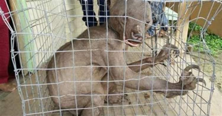 Живу чупакабру зловили в Китаї. Чупакабра в клітці
