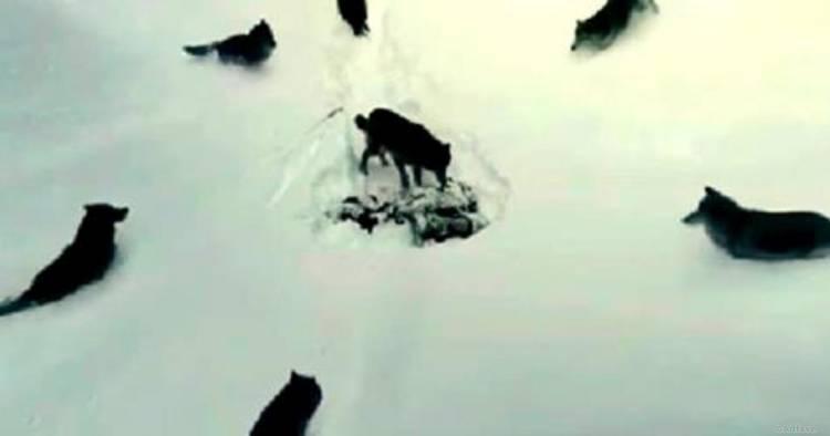 Вовки з людським серцем. Це відео нікого не залишить байдужим!