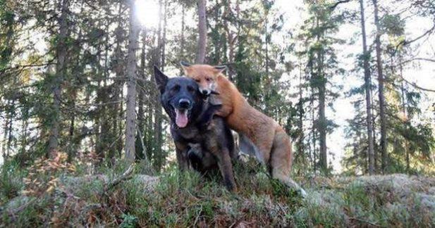 Пес почав щодня бігати в ліс. Господар вирішив дізнатися, в чому справа і зіткнувся з дикою твариною