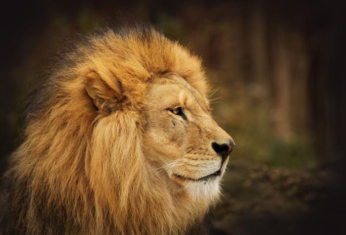 Цирковий лев жив у старій вантажівці протягом 20 років
