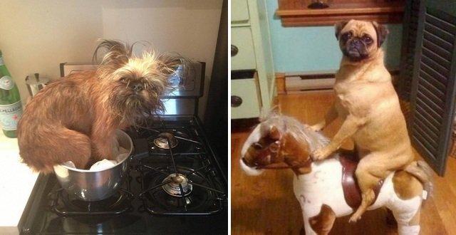 27 смішних собак, які знайшли собі заняття, поки господаря немає вдома