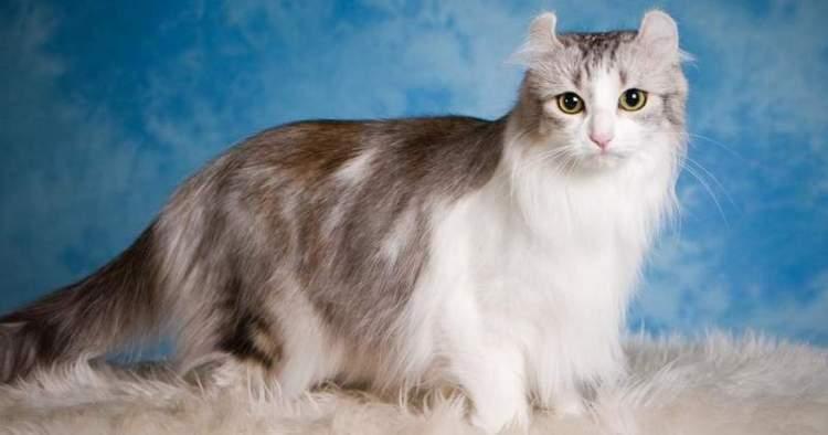 Топ 18 найдорожчих порід кішок в світі