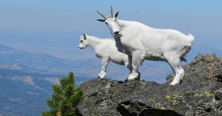 20 кумедних фото гірських козлів